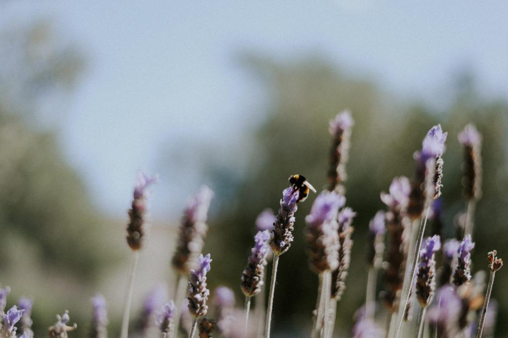 Petite abeille volant au dessus des lavandes